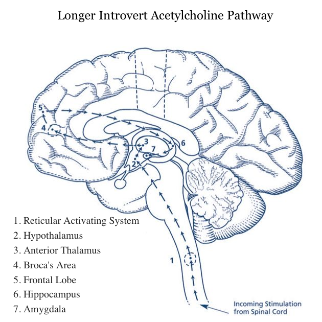 neurotransmiter-acetilkolin-introverter